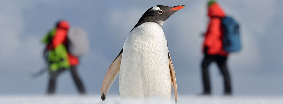 Antarctican penguin with Hurtigruten