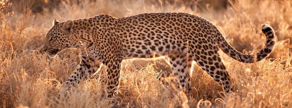 Leopard - Botswana safari - from Belmond Safaris