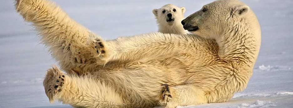 Polar bears by Dominic Barrington, courtesy of Hurtigruten