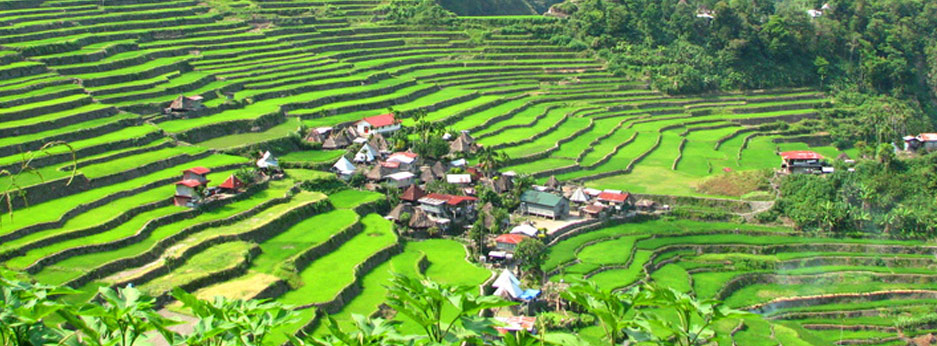 Paddy fields in Vietnam