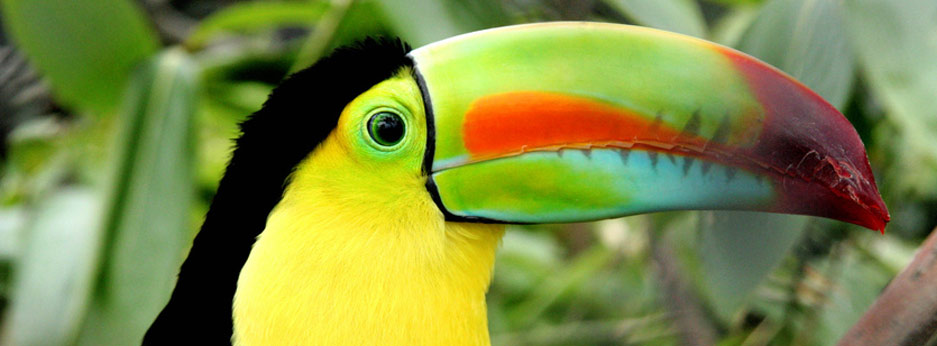 Toucan, South America