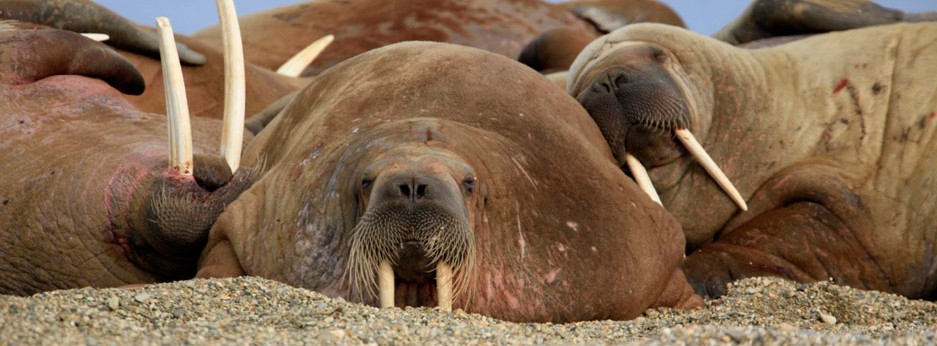 Walruses in Svalbard with Hurtigruten